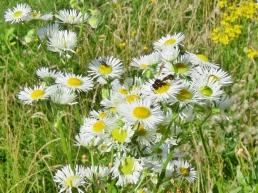 Pillenwespe (Eumenes spec.) auf Feinstrahl (Erigeron annuus)