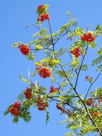 Eberesche (Sorbus aucuparia), mit reifenden Beeren