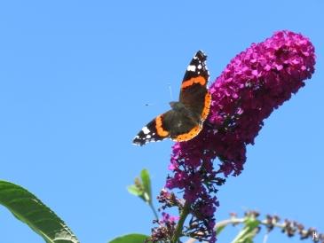 Admiral (Vanessa atalanta) auf purpurn blühendem Schmetterlingsflieder (Buddleija davidii)