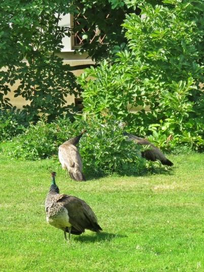 2017-07-15 Prag_17 nachmittags Kleinseite (sonnig) (15) Vojan-Park, Pfauenhennen