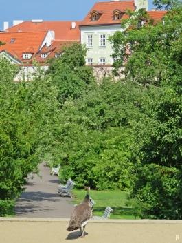 2017-07-15 Prag_17 nachmittags Kleinseite (sonnig) (29) Vojan-Park, Pfauenhenne