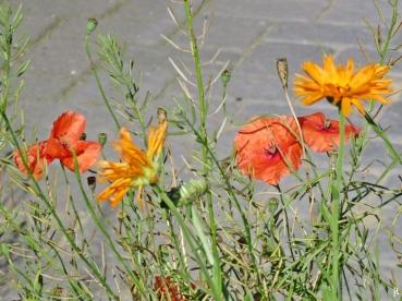 Saatmohn und Ringelblumen