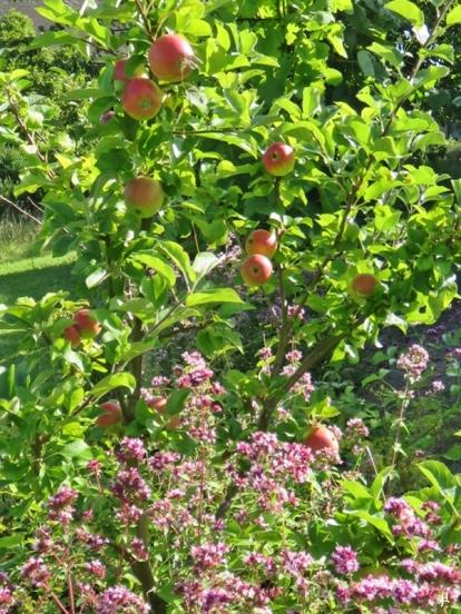 Apfelbaum und Oregano