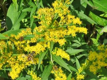 2017-08-13 LüchowSss Garten (37) Goldrute mit Schwebfliegen u. kl. Wespe
