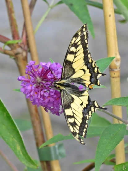 2017-08-13 LüchowSss Garten (43) Schwalbenschwanz an Schmetterlingsflieder 'Île de France'