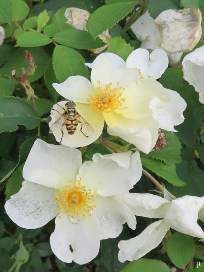 2017-08-13 LüchowSss Garten (44) Totenkopf-Schwebfliege auf Strauchrose 'Kew Gardens'