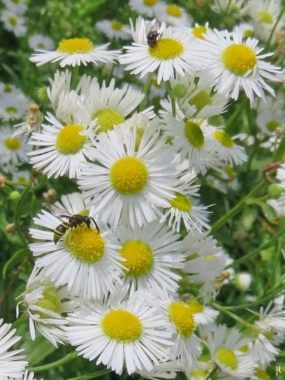 2017-08-13 LüchowSss Garten (72) Feinstrahl mit Wespe u. Fliege