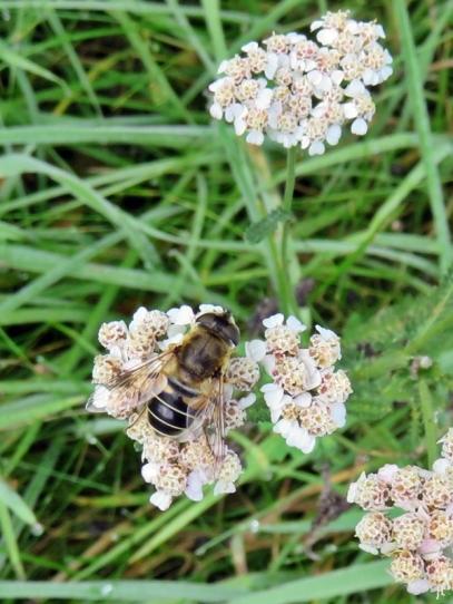 2017-08-29 LüchowSss Garten (4) Keilfleckschwebfliege