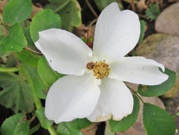 2017-08-29 LüchowSss Garten (7) Rose 'Kew Gardens' (David Austin) + Asiatischer Marienkäfer (Harmonia axyridis)