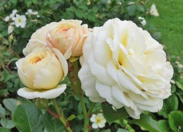 2017-08-29 LüchowSss Garten (9) Nostalgie-Rose (Tantau) 'Artemis'
