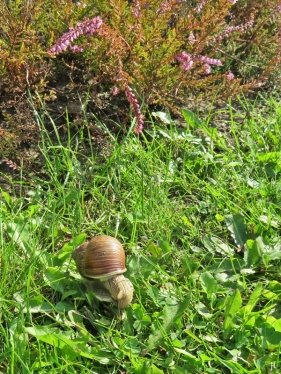 2017-08-30 LüchowSss Garten (1) Weinbergschnecke (Helix pomatia)