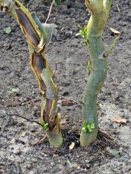 2017-08-30 LüchowSss Garten (13) Korkenzieherweide (Salix matsudana 'Tortuosa') - Neuaustrieb nach dem Auspflanzen