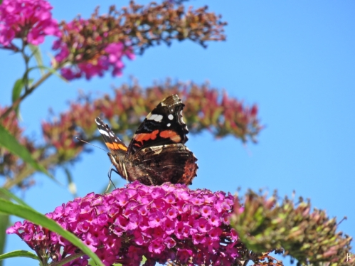 2017-08-30 LüchowSss Garten (4) Schmetterlingsflieder (Buddleja davidii) + Admiral (Vanessa atalanta)