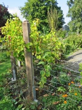 2017-08-30 LüchowSss Garten (5) Ecke mit Wein + Kandelaber-Königskerze etc