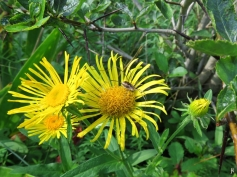 2017-08-30 LüchowSss Garten (8) Echter Alant (Inula helenium) + Weberknecht (Opiliones spec.) + Hahnendorn bzw. Hahnensporn-Weißdorn (Crataegus crus-galli)