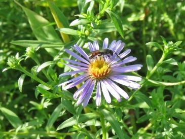 2017-09-04 LüchowSss Garten (6) Furchenbiene auf Glattblatt-Aster