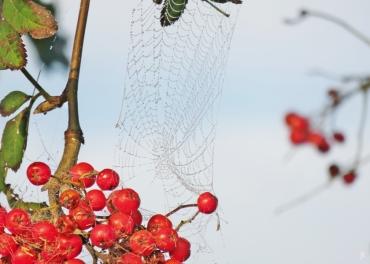2017-09-22 bLüchow Morgennebel-Spaziergang (21) Ebereschenbeeren (Sorbus aucuparia) + Spinnennetz