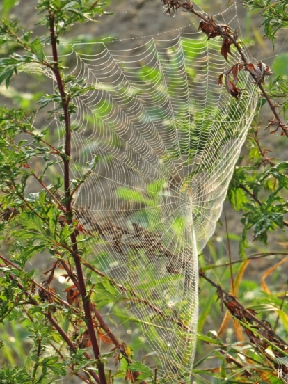 2017-09-22 bLüchow Morgennebel-Spaziergang (23) Spinnennetz und Gänsefuss