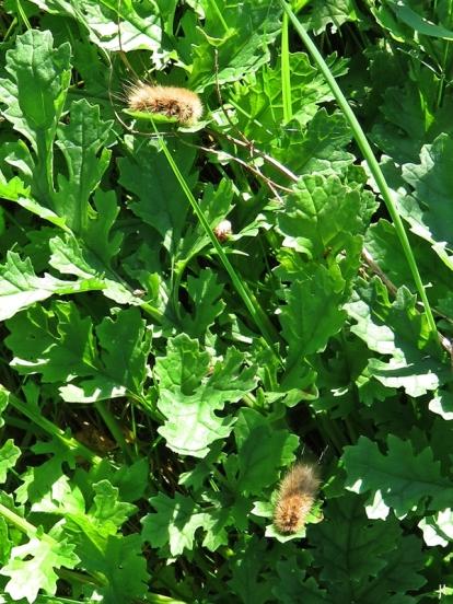 2017-10-08 LüchowSss Garten (60) Raupen vom Zimtbär oder Rostflügelbär (Phragmatobia fuliginosa) auf der Wieseninsel - Jakobsgreiskraut