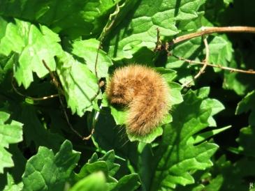 2017-10-08 LüchowSss Garten (65) Raupen vom Zimtbär oder Rostflügelbär (Phragmatobia fuliginosa) auf der Wieseninsel - Jakobsgreiskraut