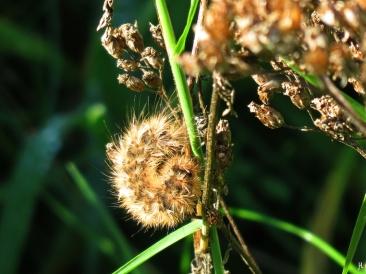 2017-10-08 LüchowSss Garten (69) Raupen vom Zimtbär oder Rostflügelbär (Phragmatobia fuliginosa) auf der Wieseninsel