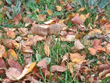 2017-10-17 LüchowSss Garten (3) Birkenpilz (Leccinum scabrum) zwischen Birkenblättern