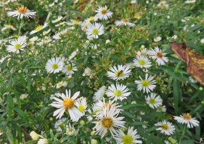 2017-10-17 LüchowSss Garten (51) Myrtenaster (Aster ericoides,) mit Furchenbiene