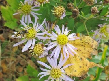 2017-10-17 LüchowSss Garten (6) Grosse Sumpfschwebfliege (Helophilus trivittatus) auf Asiatischer Herbstaster (Aster ageratoides) 'Asran' mit Birkenblatt