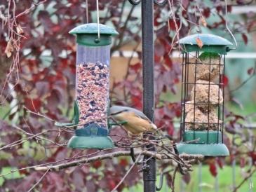 Zum ersten Mal an der Vogelfutterstation mit Behältern zu beobachten: ein Kleiber (Sitta europaea)