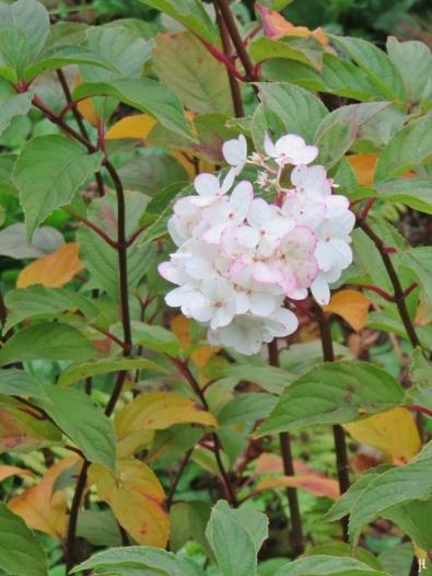 2017-10-28 LüchowSss Garten (4) Rispenhortensie (Hydrangea paniculata)