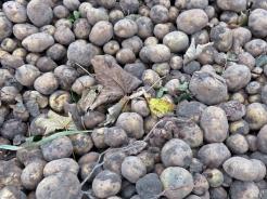 2017-11-01 LüchowSss (4) Kartoffeln