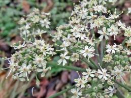 2017-11-03 bLüchow (4) Blütendolde vom Wiesen-Bärenklau (Heracleum sphondylium) mit kleiner Fliege