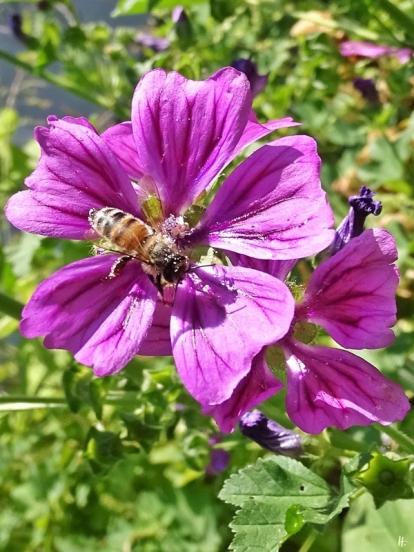 2018-06-07 LüchowSss Gartenrundgang 12-13h (45) Mauretanische Malve mit Buckfast-Honigbiene