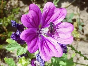 2018-06-11 LüchowSss Garten Mauretanische Malve mit Wildbiene