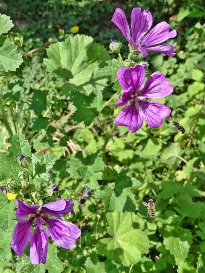 2018-06-14 LüchowSss Garten Mauretanische Malve mit zwei verschiedenen Wildbienen