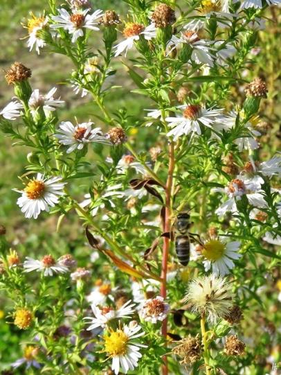 2018-10-12 Györ - Kleine Donau (10) Wilde Astern (vermutl. Symphyotrichum spec.) mit Honigbiene (Apis mellifera) im Uferbereich