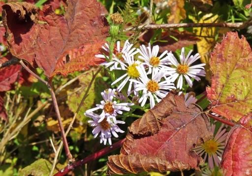 2018-10-12 Györ - Kleine Donau (14) Wildasternblüten (vermutlich Symphyotrichum spec.) + Brombeerblätter (Rubus fruticosus) am Gehölzrand