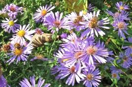 2018-10-17 LüchowSss Garten Belgische Glattblattastern (3) mit drei Honigbienen