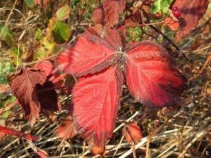 2018-10-17 LüchowSss Spaziergang (1) Ackerbeerenblätter (Rubus caesius)
