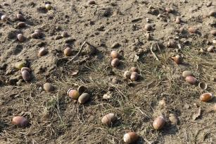 2018-10-17 LüchowSss Spaziergang (4) Eicheln im mehlfeinen Sand-Erdgemisch