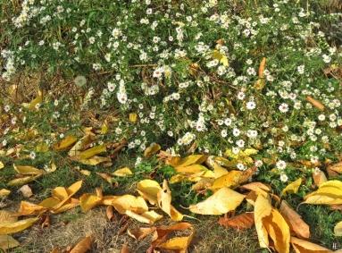 2018-10-21 LüchowSss Garten Myrten-Astern (Symphyotrichum ericoides) + Kirschenlaub (1)