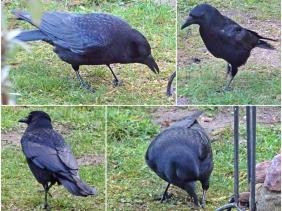 2018-12-24 LüchowSss Garten Rabenkrähe Corvus corone corone (1x4)