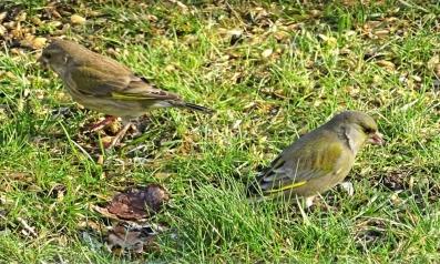 2019-01-19 lüchowsss vögel im garten grünfinken (chloris chloris) (2)
