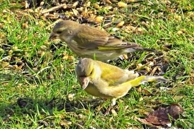 2019-01-19 lüchowsss vögel im garten grünfinken (chloris chloris) (3)