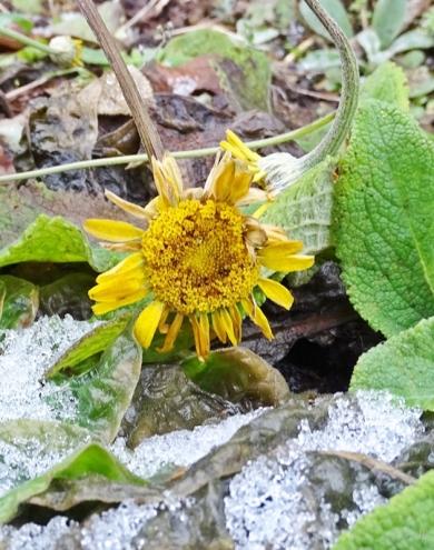 2019-02-03 LüchowSss Garten (2) Färberkamille (Anthemis tinctoria)