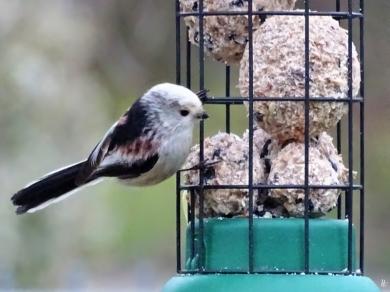 2019-02-05 LüchowSss Garten Vögel (6) Schwanzmeise (Aegithalos caudatus)