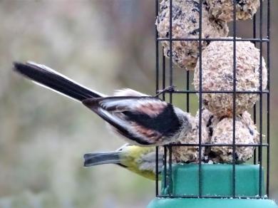 2019-02-05 LüchowSss Garten Vögel (8) Schwanzmeise (Aegithalos caudatus) + Blaumeise (Cyanistes caeruleus)