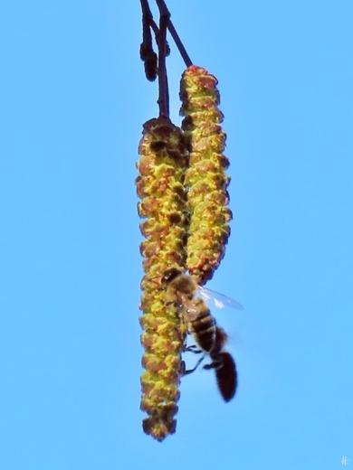 2019-02-16 LüchowSss nachmittags Erlenkätzchen mit Honigbienen (4A) näher