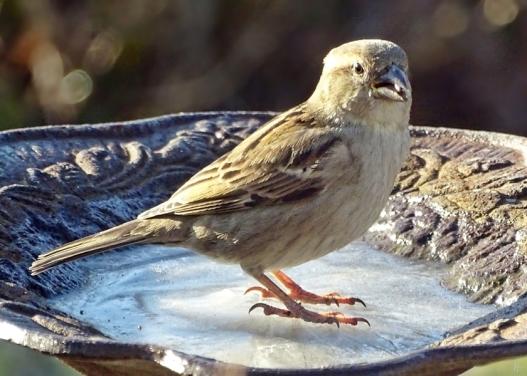 2019-02-27 LüchowSss Garten (5) weiblicher Haussperling (Passer domesticus) auf vereister Vogeltränke