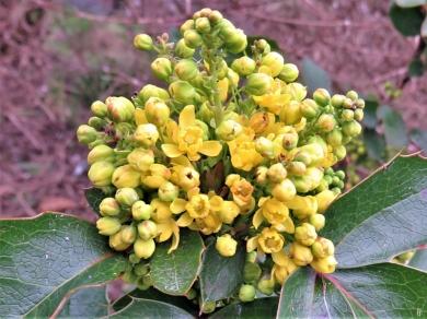 Mahonien-Blüte (Mahonia repens)